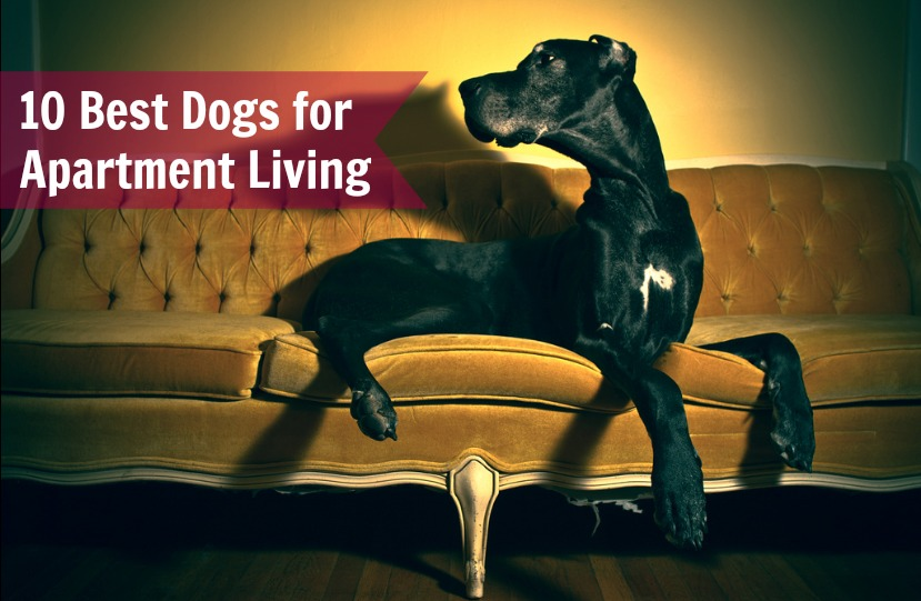 Best Dogs For Apartments Living
